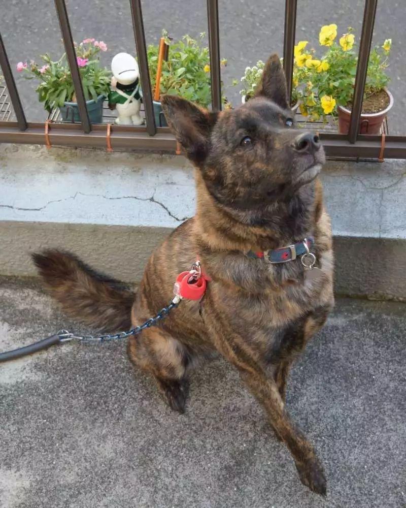超稀有的狗狗品种,你知道多少个?