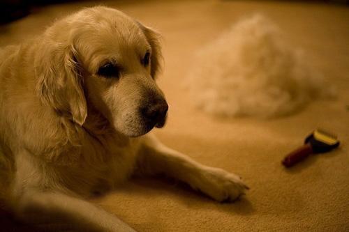 为什么冬天狗狗毛发暗淡而且频繁掉毛