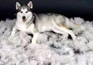 如何预防狗狗频繁脱毛掉毛