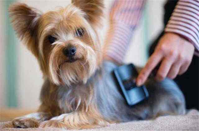 狗狗刮毛后可以洗澡吗