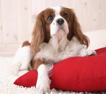 新生的狗狗在出生后如何护理