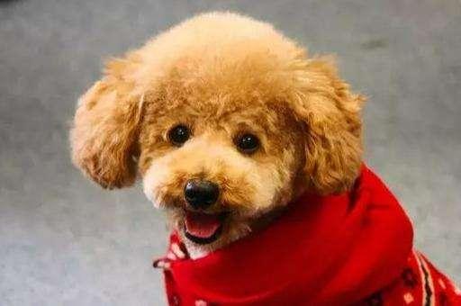玩具贵宾犬是很难选择和定价的狗