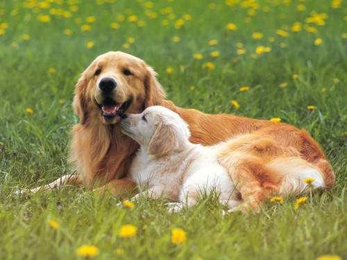 母犬发情期在什么时候,母犬发情期有哪些特征?