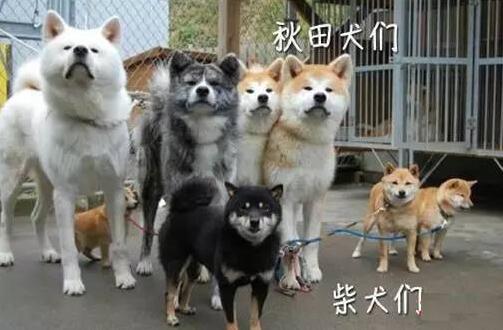 【柴犬和秋田犬的区别】4个方面来分析