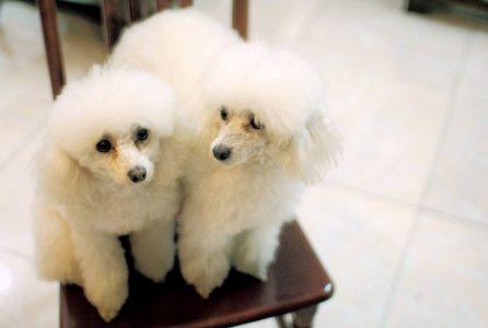 白色贵宾犬在哪里可以买到,价格多少