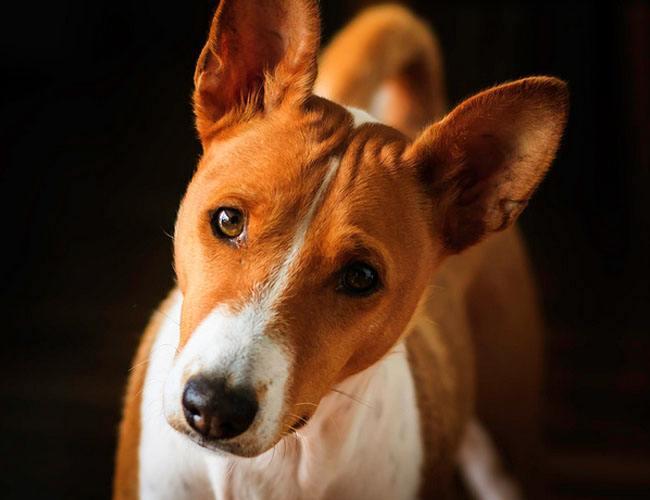 是什么造成贝生吉犬的耳朵病症,怎么治疗