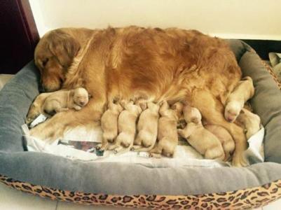 狗狗产后护理很重要,狗狗生产后怎么护理