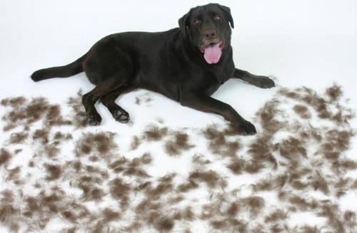 宠物狗掉毛原因有哪些