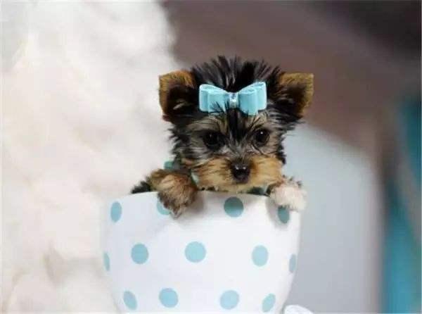 五种可爱的小型宠物狗推荐