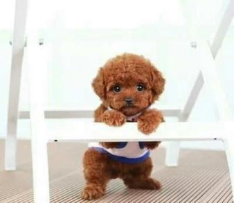 玩具型泰迪犬价格多少,玩具型泰迪犬定价依据