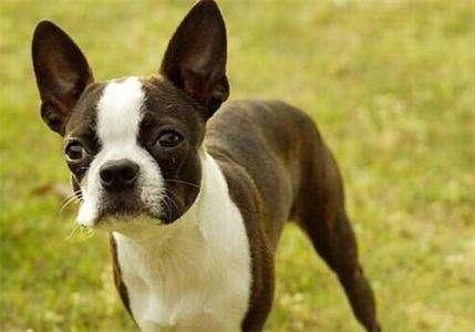 美国波士顿梗犬,波士顿梗犬品种介绍