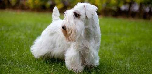 西里汉梗是什么犬,西里汉梗品种介绍