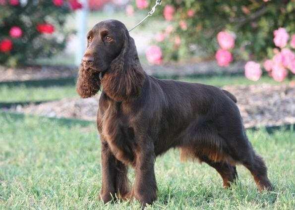 哥顿雪达犬是什么品种