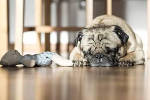 狗狗为什么会得角膜炎,狗狗患上角膜炎症状